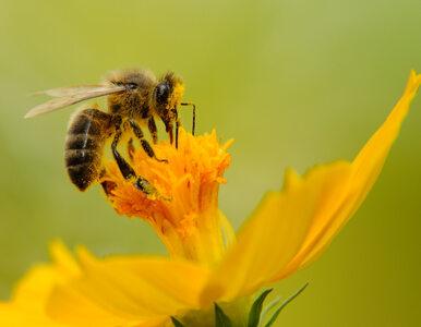 Naukowcy: Jad pszczół zabija agresywne komórki raka piersi. I to w 60 minut