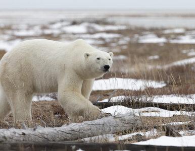 Niedźwiedź polarny zabił 31-latka. Mężczyzna poświęcił się, by uratować...
