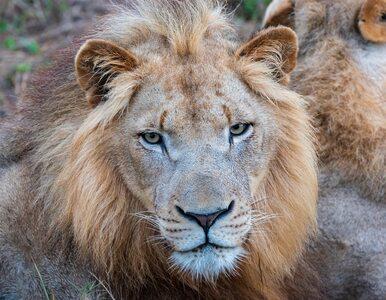 Czech został zagryziony przez lwa. Zwierzę trzymał w ogródku