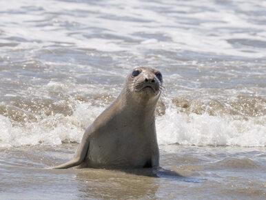 W Kołobrzegu znaleziono kolejną martwą fokę. To 36. taki przypadek w tym...