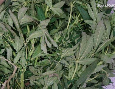 Policjanci zlikwidowali plantację marihuany wartą pół miliona złotych