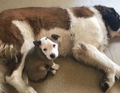 Nieustraszona Edna – pies, który skradł serca internautów. Czym zasłużył...