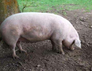 Rosja wydała zakaz importu wieprzowiny z całej UE