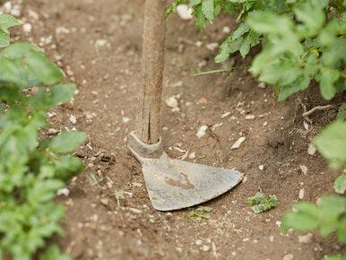 Sadził ziemniaki, wykopał szczątki byłego męża swojej partnerki