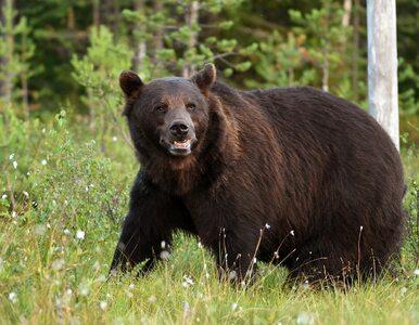 Atak niedźwiedzia w Bieszczadach. Mężczyzna trafił do szpitala