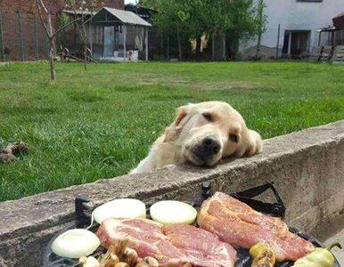 Psy proszące o jedzenie. Nie sposób im odmówić!