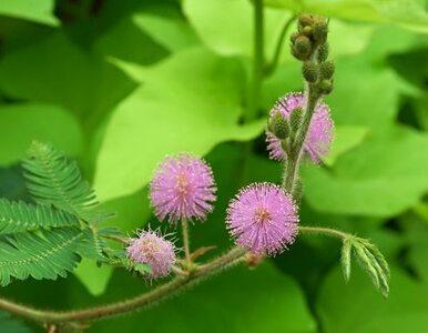 Nerwowe i gadatliwe rośliny