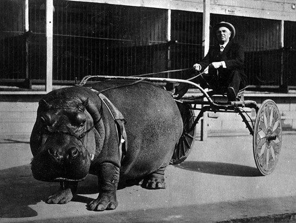 Hipopotam w cyrku, 1924 (fot. boredpanda.com)