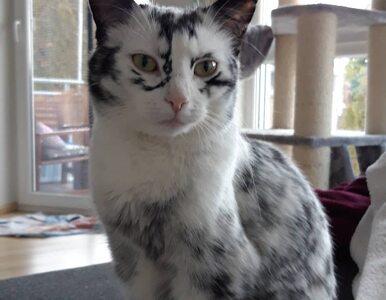 Kot chory na bielactwo? Zmienił się nie do poznania