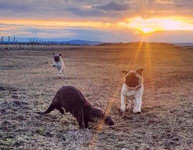 Przyjaźń międzygatunkowa? Wydra i psy mają na to sprawdzony przepis