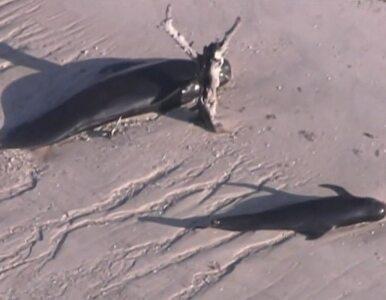 Ocean wyrzucił na brzeg stado wielorybów
