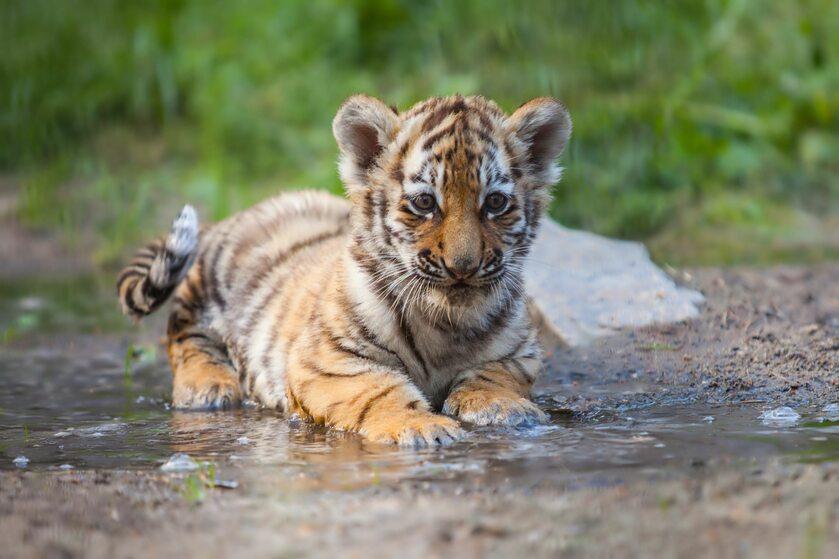 Mały tygrys, zdjęcie ilustracyjne