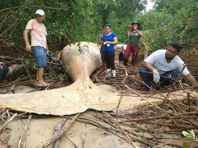 Martwy humbak znaleziony między drzewami. Mierzył 11 metrów