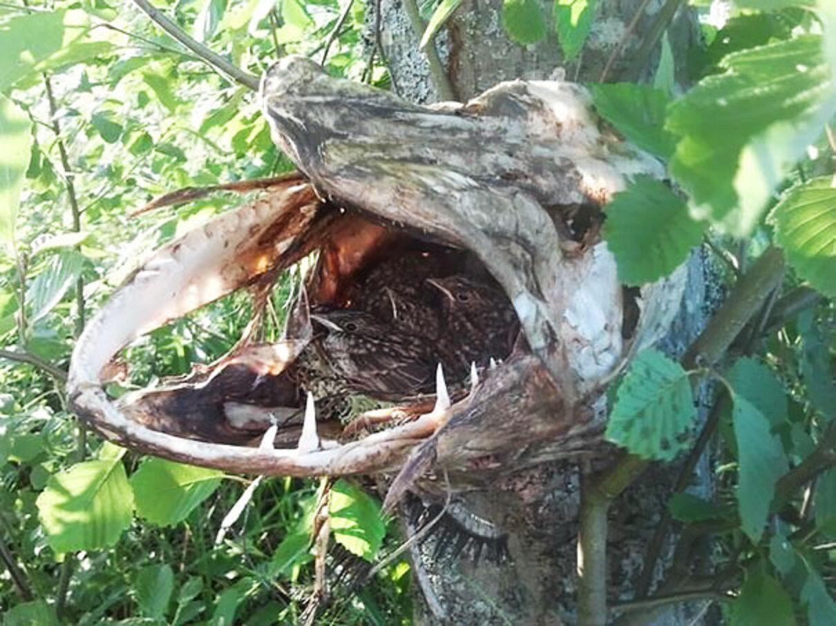 Ptaki stworzyły sobie gniazdo w paszczy martwego szczupaka