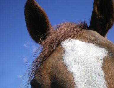 Polskie stadniny sprzedają za bezcen zdrowe rasowe konie. Trafiają do...